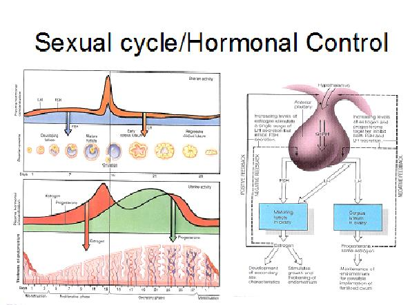 Sexualintercourse in human