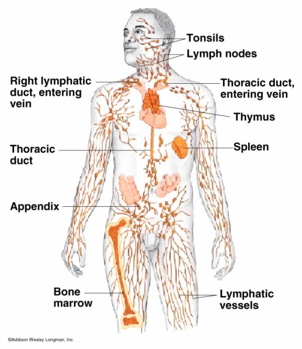 zoology111 / Organ System: Lymphatic and Immune